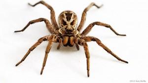 20120306152639_wolf.spider.2