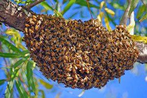 Mattinson-Bee-Swarm-Tree-Removal-2
